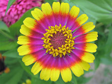 150 CAROUSEL MIX ZINNIA Elegans Carrousel Flower Seeds Mixed Colors Two & 3 Tone