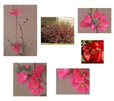 1 Flowering Quince Shrub - Larger 26+in,- Hefty/Dormant/Bareroot - Ready to Ship