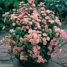 Live Rose pink mineature rose plant 6 inch height with polly pack,