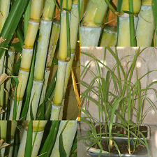 2 Rooted Green Yellow Sugar Cane Live Plants Sugarcane