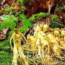 Ginseng seeds Chinese hardy Panax Ginseng Korean Herbs Seeds, 6 Particles