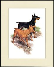MIN PIN MINIATURE PINSCHER LOVELY LITTLE DOG PRINT MOUNTED READY TO FRAME