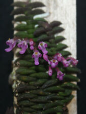 Schoenorchis scolopendria ORCHIDS (BS) 2 Plants