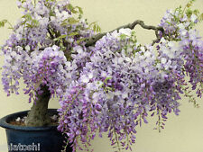 5 Chinese Blue Wisteria  Seeds , SOS-1277 Wisteria Sinensis, Ideal For Bonsai