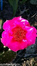 RARE MAGENTA BLOOM Prickly Pear Cactus WINTER / COLD HARDY IN BUFFALO NY