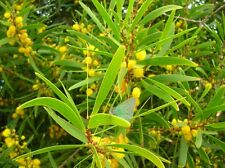 100 Graines Acacia confusa Small Philippine Acacia  tree Seeds