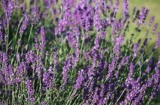Huile essentielle de Lavande vraie - Lavandula angustifolia - 100 ml