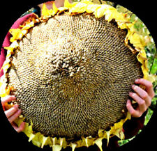 MASSIVE Titan Sunflower - 15 SEEDS!  Comb.S/H! Very tall with massive heads!