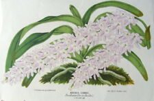 ORCHID AERIDES LOBBII,South East Asia Verschaffelt  Antique Botanical Print 1868