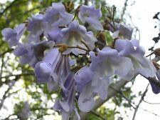 40 PRINCESS TREE ( ROYAL PAULOWNIA ) SEEDS - Paulownia tomentosa