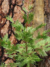 Calocedrus decurrens - Californian Incense Cedar - 10 Pre-Treated Seeds