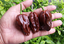 Giant Brown Habanero - A Very RARE & Extreme Hot Variety for Chilli Lovers