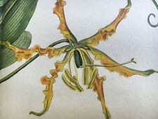 Edwards Botanical Register 1815 Handcolored SUPERB GLORIOSA Etching FOLDOUT