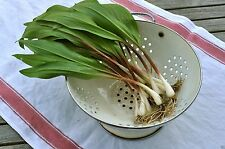 "20 Wild Leek Seed,Ramp,Allium tricoccum""Best Tasting Member Of The Onion Family"""