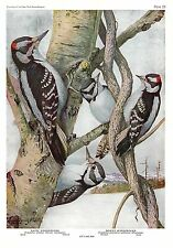 "1936 Vintage FUERTES BIRDS #59 ""HAIRY WOODPECKER & DOWNY"" Color Plate Lithograph"