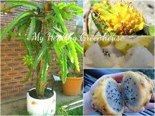 "SEEDS – ""Yellow Dragon"" Pitaya, Pitahaya, Sweet White Flesh, Dragon Fruit"