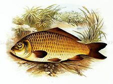 PAINTING ANIMAL FISH COMMON CARP LYDON ART PRINT POSTER LAH387A