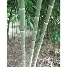 Giant moso bamboo seeds Phyllostachys pubescens 25pcs USA Seller