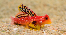 """Live Rare Saltwater Fish - 1.5"""" Ruby Red Dragonet - Exotic Nano Scooter Blenny"""