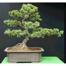 5 x Chinese White Pine seeds.Tree seeds that can be used for bonsai.