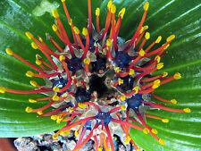 Daubenya Zeyheri 5 Seeds, South Western Cape Bulbous, Jewel Of The Desert! USA