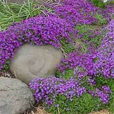 Rock Cress- (Aubrieta Hybrida)- Whitewell Gem- 100 Seeds