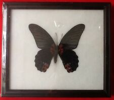 REAL GREAT MORMON BLACK BUTTERFLY PAPILIO MEMMON TAXIDERMY INSECT PICTURE