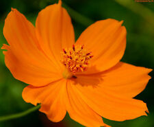 "75+ HEIRLOOM FLOWER SEEDS - COSMOS ""ORANGE SUNSHINE"" NON-GMO ANNUAL, BUTTERFLIES"
