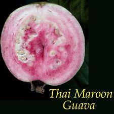 ~THAI MAROON~ Psidium guajava Reg Named GUAVA FRUIT TREE Live potted small plant