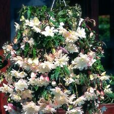 Begonia Seeds Trailing Cascade Beauty White 15 Pelleted Seeds