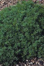 Herb - Lawn Chamomile - Anthemis Nobilis - 5000 Seeds