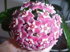 "Hoya pubicalyx . ""Silver Prince"". cv. ""Pink Silver"" Ableger."