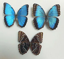 Morpho helenor ssp. peleides * PAIR * (mounted) Colombia