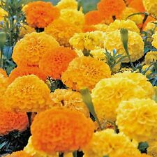 1000 Marigold Seeds (african crackerjack),Tagetes erecta ,bloom Summer-fall