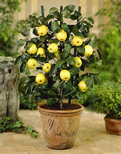 5 Seeds Dwarf Apple Seeds ★ GOLDEN DELICIOUS ★ Miniature Indoor or Outdoor