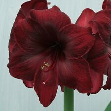 2 LARGE ROYAL VELVET AMARYLLIS BULBS PLUS BONUS. BULB OUR CHOICE