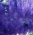Wisteria prolific - GRAFTED - 6.5ft SIZE! Shipped at 6.5ft, 2-3 stems, 7litre