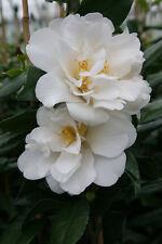 Camellia japonica Silver Anniversary in 9cm pot