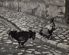 1920/72 Vintage 11x14 COCK FIGHT Rooster Chickens Budapest Hungary ANDRE KERTESZ