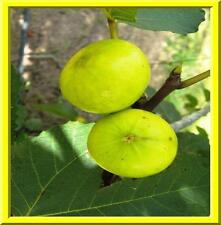 Golden Fig Seeds! SELF FERTILE! EAT FRESH / BAKE / CAN / OR DRY! Comb. S/H!