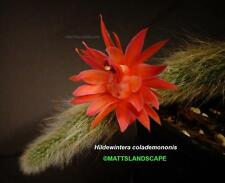 Hildewintera,colademononis,Monkey Tail,Rooted,Plant,Trichocereus,Blooming,Cactus