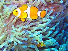 ANIMAL FISH PHOTOGRAPH CLOWN FISH TROPICAL LARGE POSTER ART PRINT BB2961A