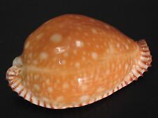 Super Deep H2O...CYPRAEA GUTTATA AZUMAI~54mm~China SEASHELL