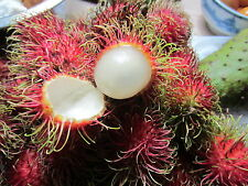"12"" Tall FLORIDA Rambutan PLANT TROPICAL Fruit Tree Nephelium lappaceum"