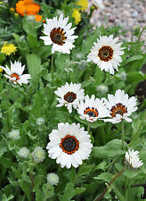 Daisy Seeds - ZULU PRINCE -Drought Tolerant Flower - Withstands Frost - 50 Seeds