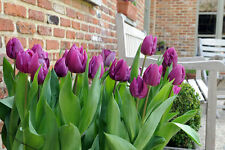 10PCS PURPLE TULIP BULBS, FRESH BULBOUS ROOT FLOWER CORMS PLANTED NUMEROUS BS