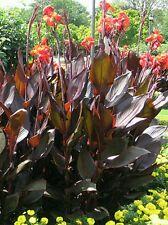 3 Red King Humbert Tall bronze Foliage Canna Lillies/ Lily Tall Bulbs/Rhizomes