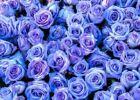 35 Rose Rosen Samen Blu-Violett Seeds Gothic Gardenin + Tribute - Geschenk