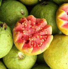 WILD GUAVA tropical fruit Psidium pink hawaiian guayaba cimarrona seed 15 SEEDS