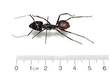 HUGE GIANT BULLET ANT MOUNTED PINNED